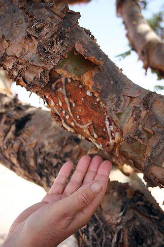 Frankincense tree slash, sap globs