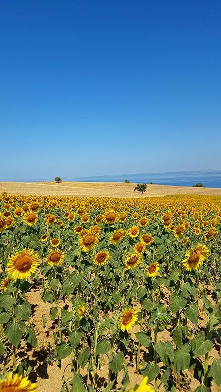 Sunflower field, blue sky